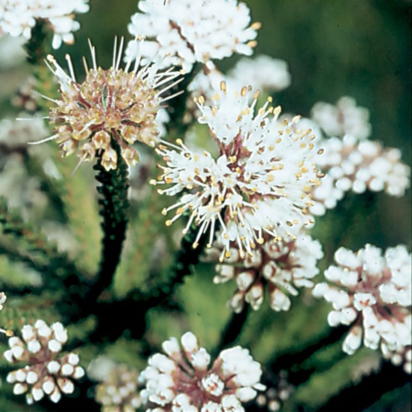 Agathosma cerefolium