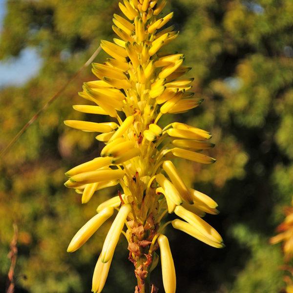 Aloe aborescens 'Phillip le Roux'