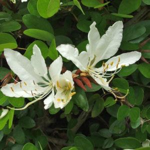 Bauhinia bowkerii