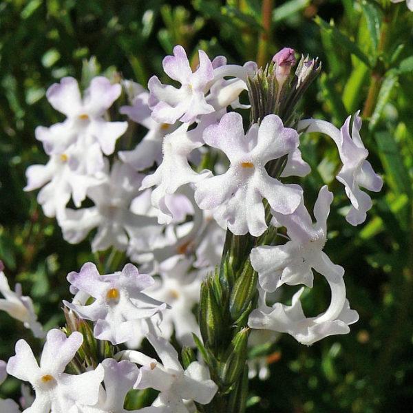 Chascanum cernuum
