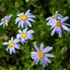 Felicia echinata blue