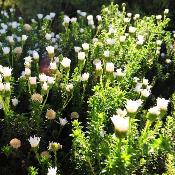 Felicia echinata white