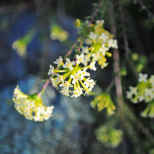 Gnidia squarrosa