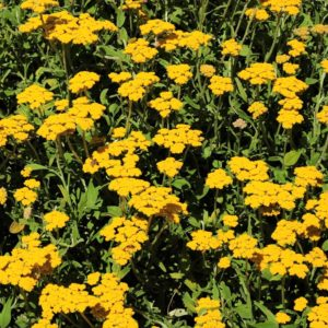 Helichrysum odoratissimum var odoratissimum