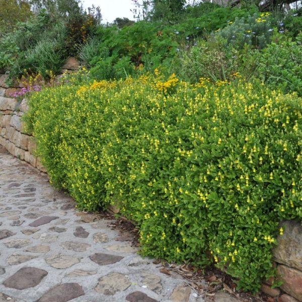 Hermannia saccifera