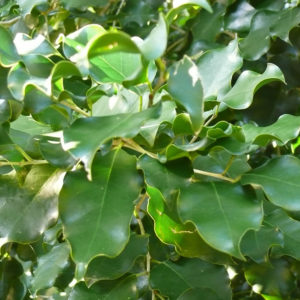 Heywoodia lucens