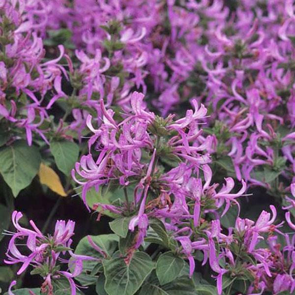 Hypoestes aristata 'Purple'