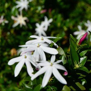 Jasminum multipartitum 'Southern Star'