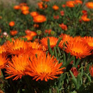 Lampranthus 'Peach'