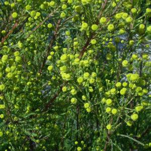 Leucadendron laxum