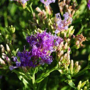 Linzia glabrata Vernonia
