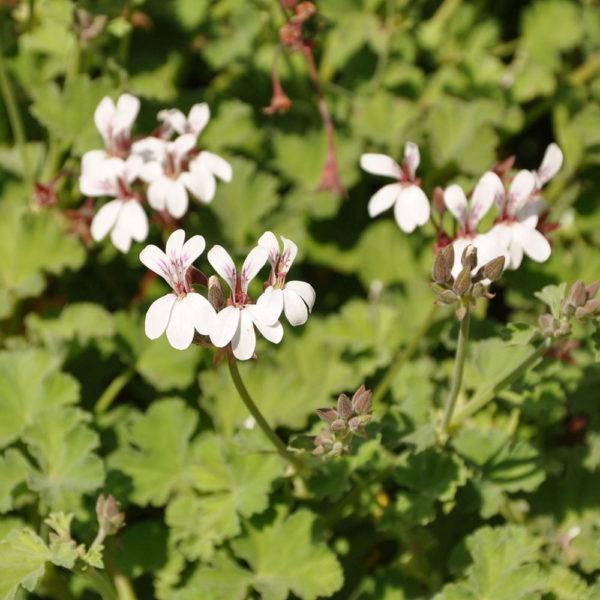 Pelargonium fragrans 'Nutmeg'