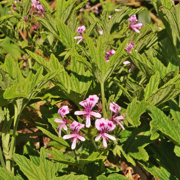 Pelargonium citronellum 'Orange scented'