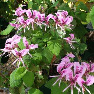 Pelargonium cordifolium pink