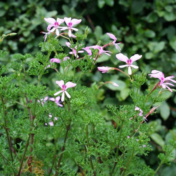 Pelargonium fruticosum pink or white