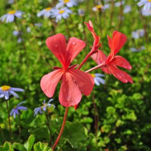 Pelargonium salmoneum