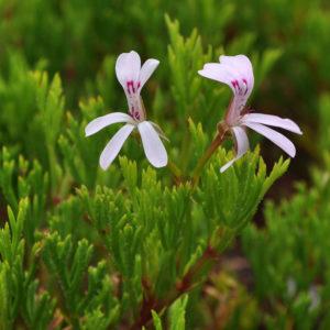 Pelargonium ternatum