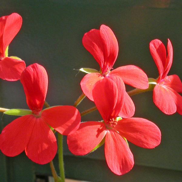 Pelargonium tongense