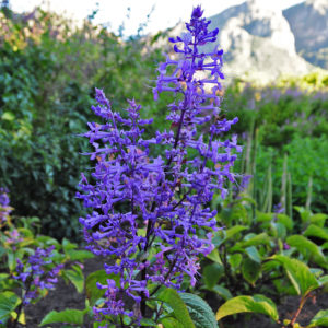 Plectranthus ecklonii 'Medley Wood' blue flowers