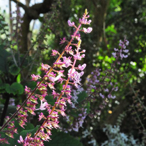 Plectranthus fruticosus 'James'