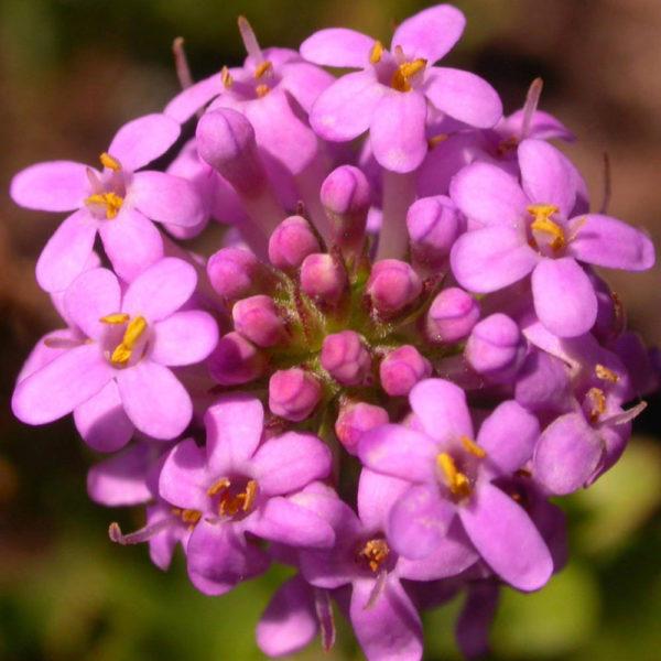 Selago myrtifolia Walafrida nitida